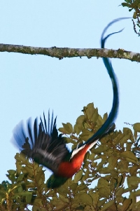 costa-rica-birdwatching_quetzal
